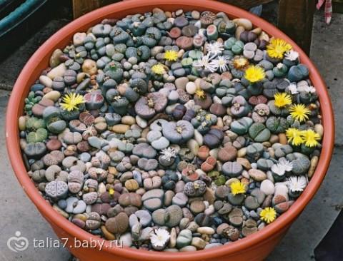 Цветы, похожие на гальку - литопсы